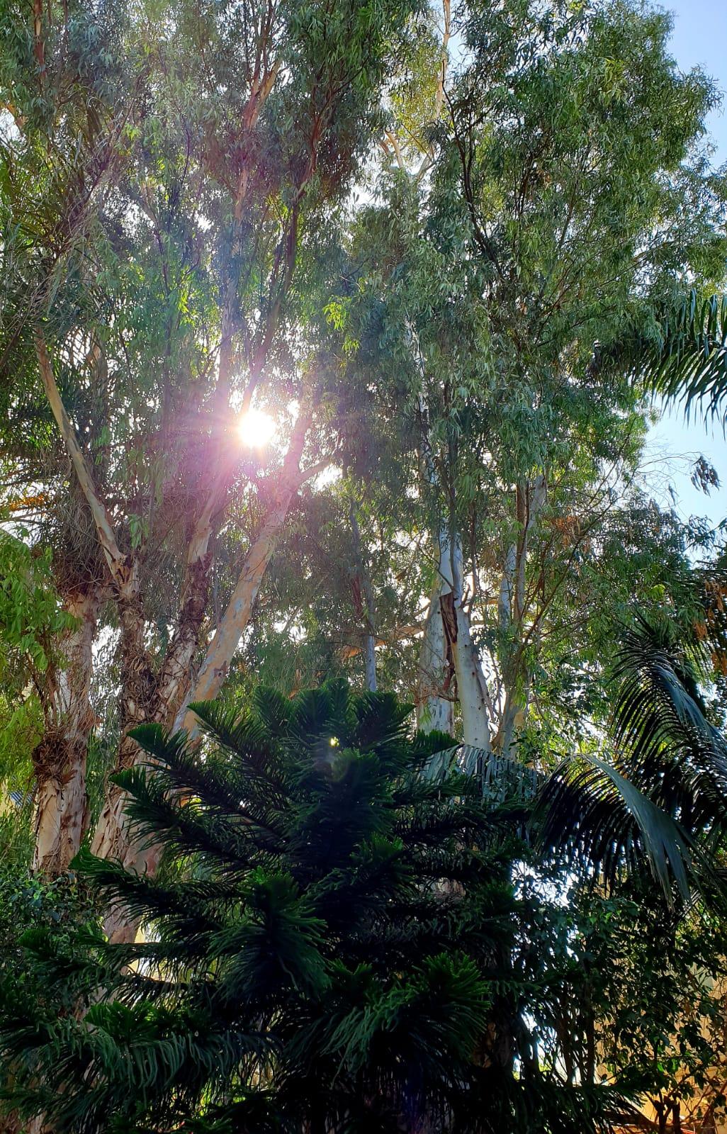 שמש ועצים